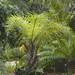 Licuri palm