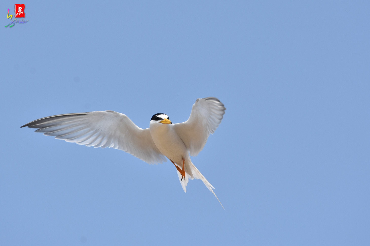 Little_Tern_9977