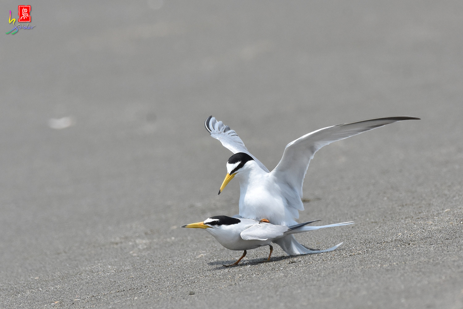 Little_Tern_8933