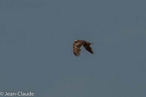 Circus aeruginosus ♀ - Marsh Harrier