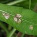 Ramularia centaureae on Knapweed (Centaurea)