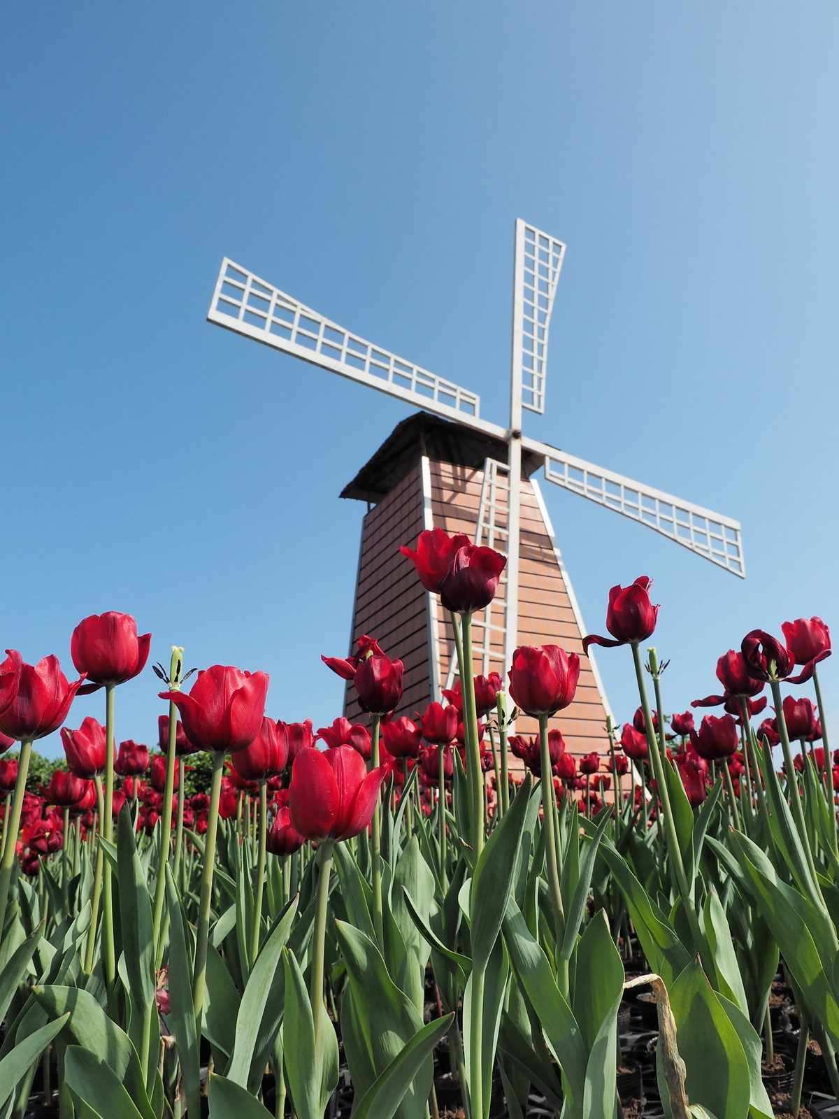Red tulip flowers and the windmill.