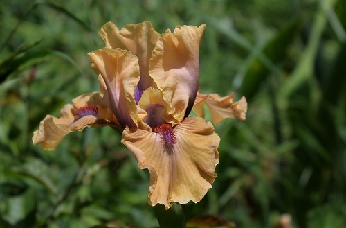 Iris 'Endless Moments' - Barry Blyth 2005 28472886288_f6c1427a97