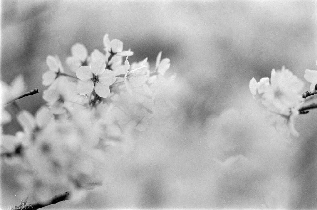 2018-04-21 深川の桜 001