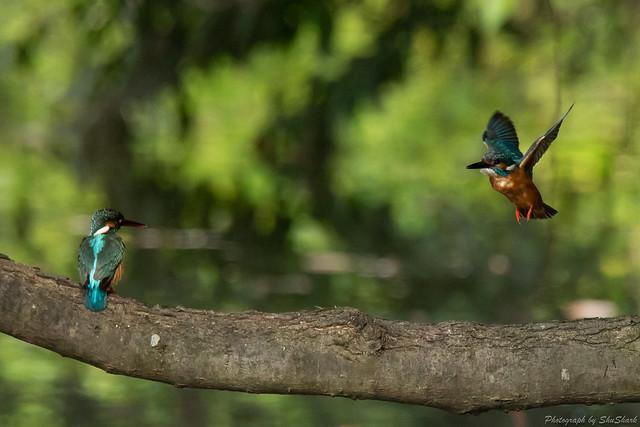 20180527-kingfisher-DSC_2691