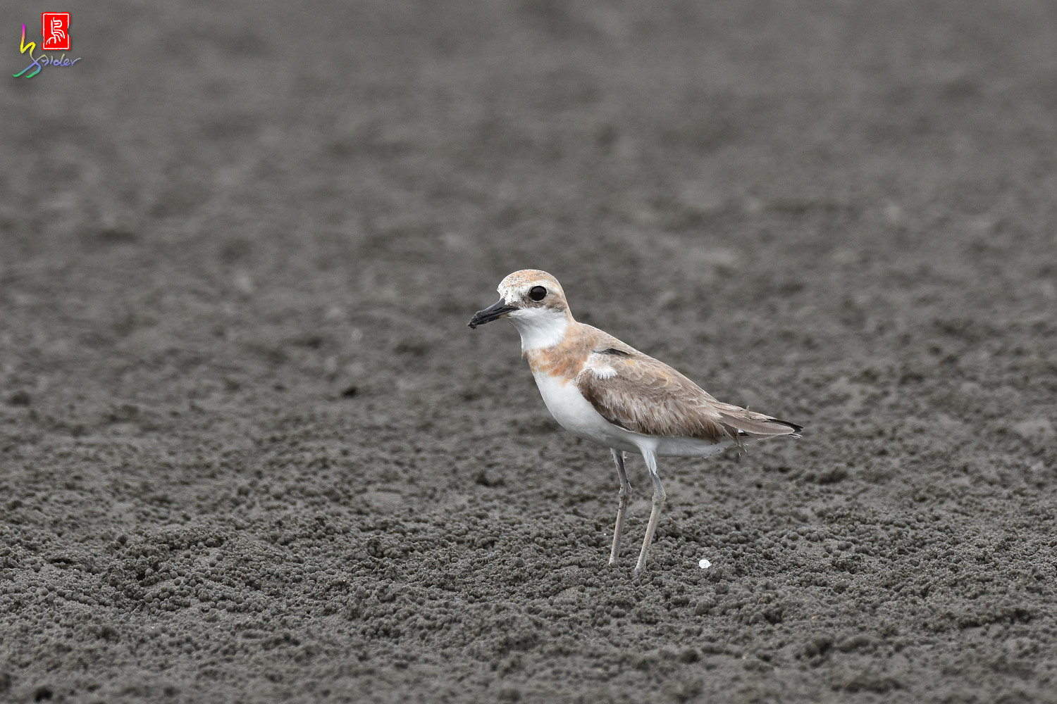 Greater_Sand_Plover_9412