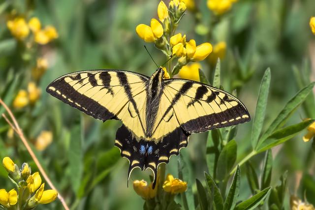 Western-Tiger-Swallowtail-18-7D2-052818