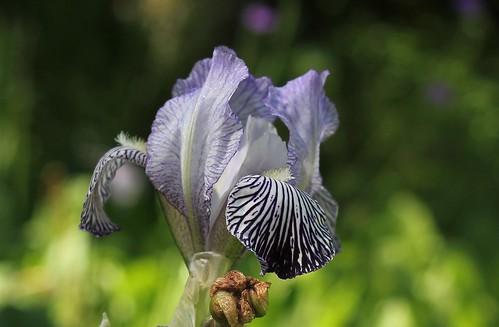reginae - Iris variegata var. reginae (= Iris reginae) - Horvat 1947 28817143638_7280bd34d6