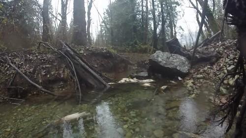 Chum Salmon, Sts'ailes, BC