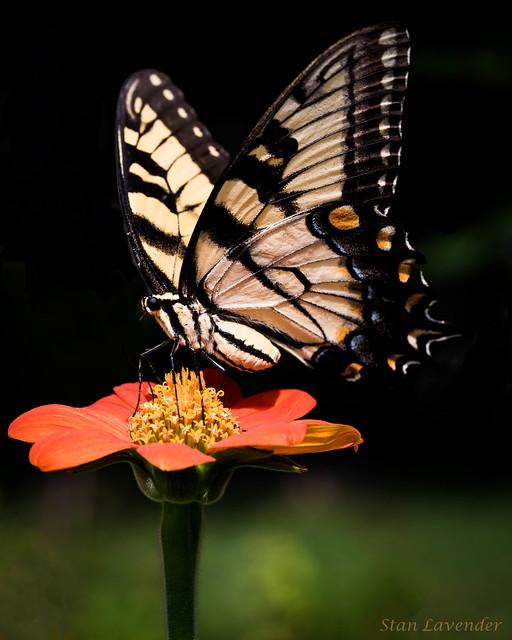 Eastern Tiger Swallowtail on Orange Mexican Sunflower.jpg
