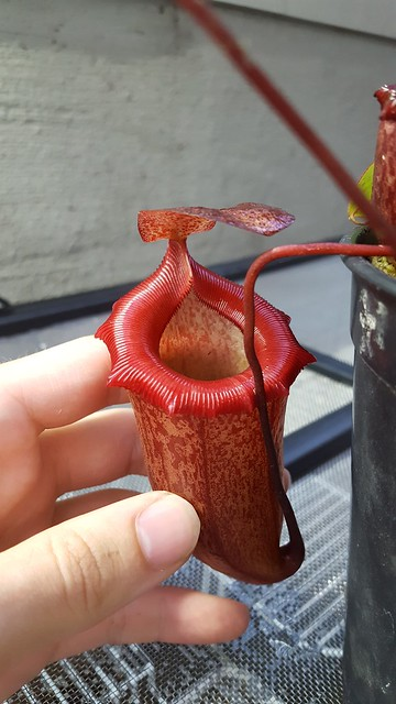 N. (Ventricosa x Sibuyanensis) - flared x Flava