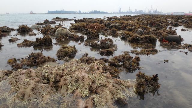 Living reefs of Pulau Semakau (North)