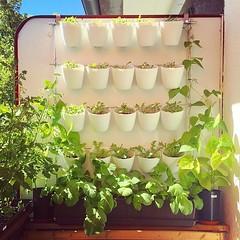 Vertical garden update. Radishes ready to harvest.