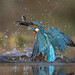 Kingfisher (m)....with 2 Minnows. by PMBrem