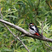Great Spotted Woodpecker - Juvenile