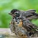 Robin Fledgling_47417-.jpg