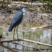 Pied Heron by Jim Scarff
