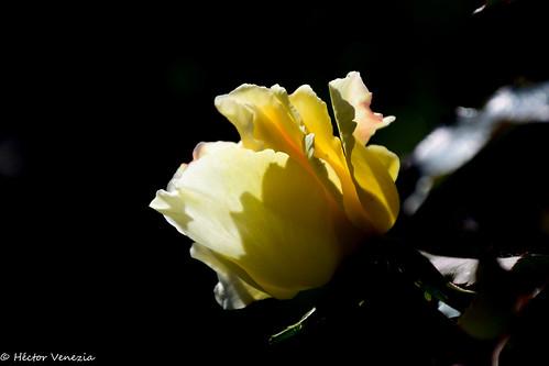 Sweet Flower 7