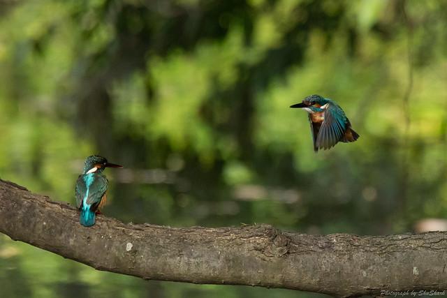 20180527-kingfisher-DSC_2692
