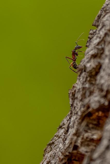 Carpenter Ant (Camponotus cruentatus)