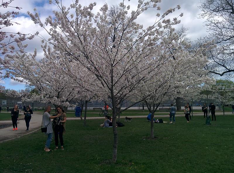Sakura of Trinity Bellwoods (3) #toronto #trinitybellwoods #parks #cherryblossom #sakura #latergram