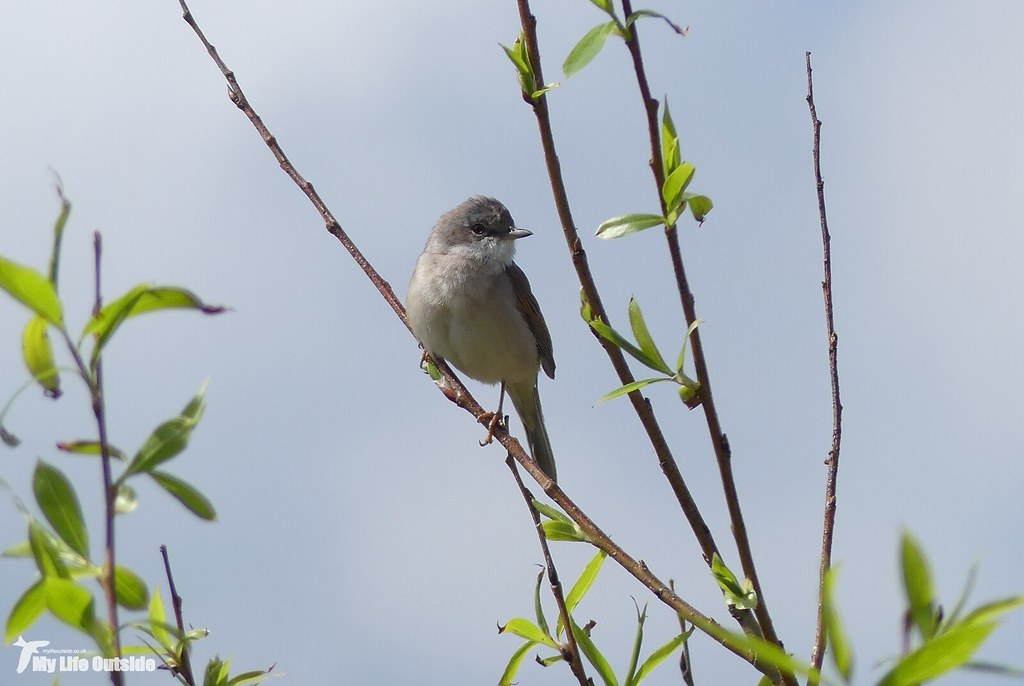 P1140819 - Whitethroat