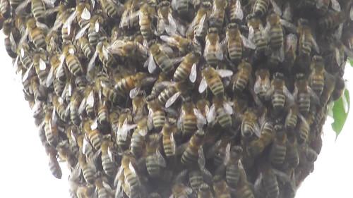 bee swarm June 18 2