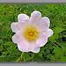 Nature's Beauty (Dog Rose)