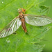 Mayfly with Red Spider Mite