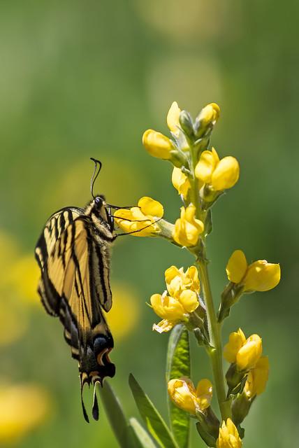 Western-Tiger-Swallowtail-32-7D2-052818