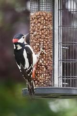 Woodpecker - 3