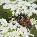 Mating Fairy-ring Longhorn Beetles - Pseudovadonia livida