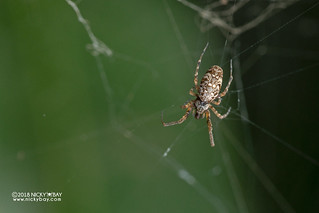 Feather-legged spider (Uloboridae) - DSC_2549
