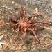 Idiopidae - Armored Trapdoor Spiders