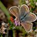 Female Silver-studded Blue Butterfly (Plebejus argus)