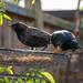 Starllings Feasting