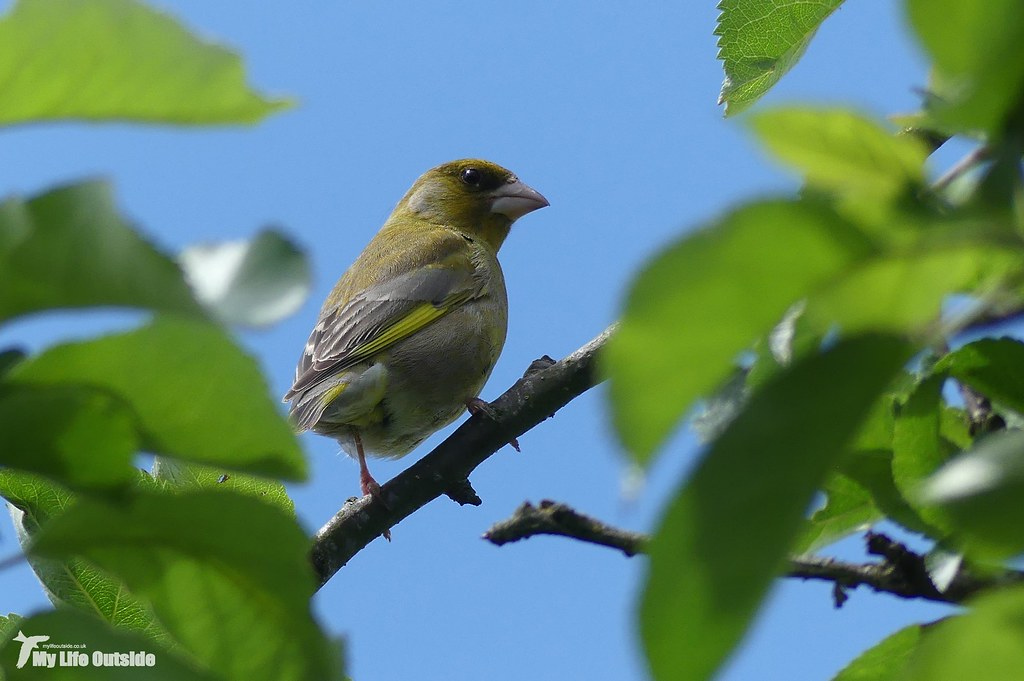 P1150511 - Greenfinch
