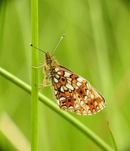 smallpearlborderedfritillary boloriaselene harilikkannikesetäpik butterfly p900 nikoncoolpixp900 raynoxdcr250