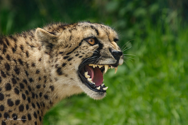 Cheetah, Canon EOS 7D MARK II, Canon EF 70-300mm f/4-5.6L IS USM