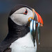 Puffin by StevieC - Photography