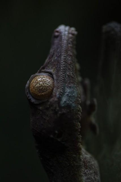 Leaf-tailed Gecko, Singapore Zoo