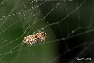 Feather-legged spider (Uloboridae) - DSC_2556