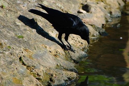 Down for a drink: carrion crow