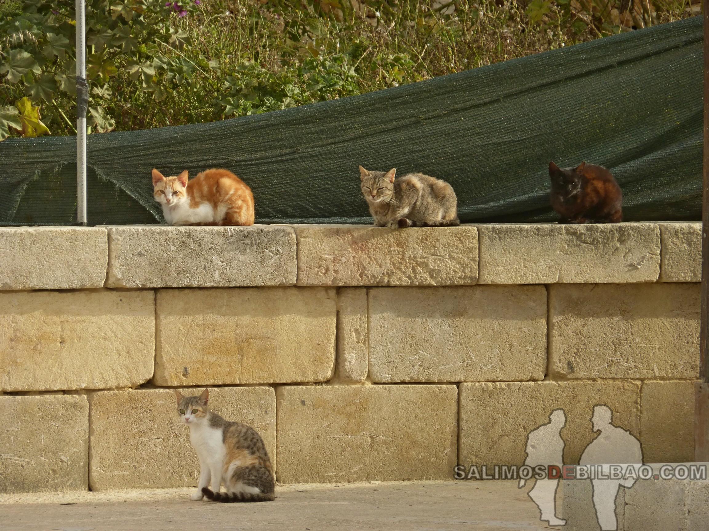 0456. Gatos, Xwejni Bay, Gozo