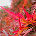 Fiery colours in the gardens