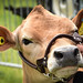 Cow at Honley Show