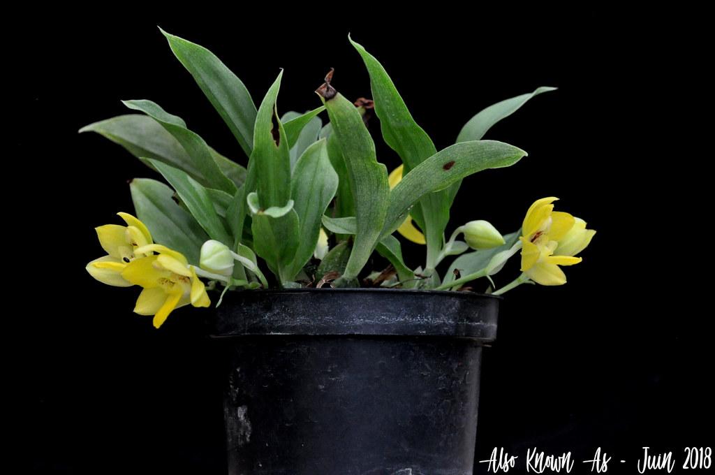 Promenaea xanthina 27891842837_3b18cbd3cf_b