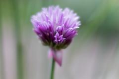 Lensbaby Velvet 56 mm