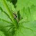Running Crab Spider - Philodromus dispar (male)