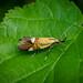 Common Tubic - Alabonia geoffrella